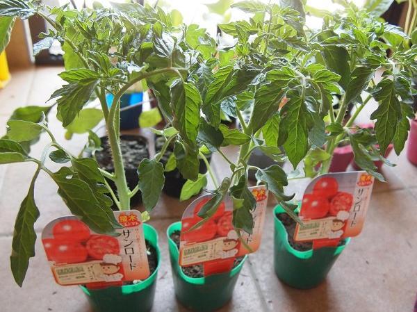 トマトの良い苗