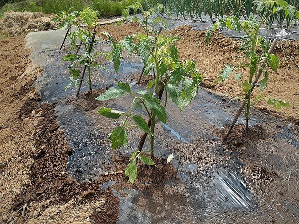 畑に植え付けたトマトの苗