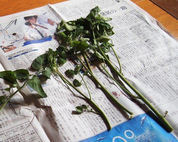 切ってきたトマトの脇芽