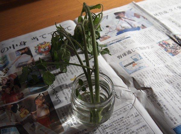 わき芽を水につけてるところ