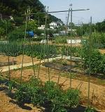 [共通]トマトの支柱(仕立て)