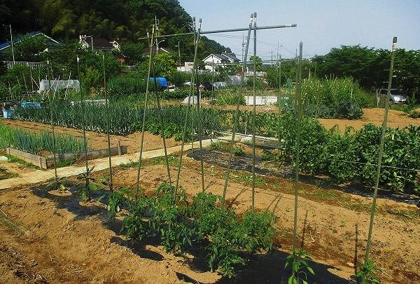 トマトの支柱