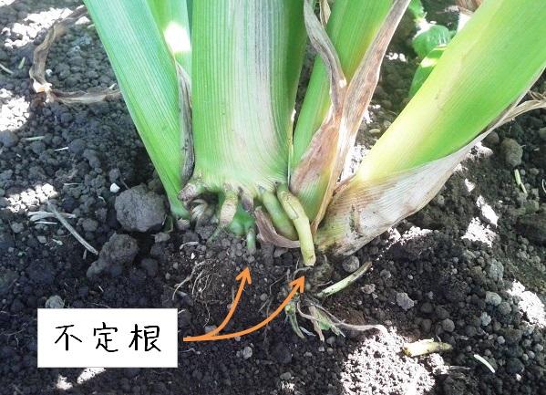 トウモロコシの不定根