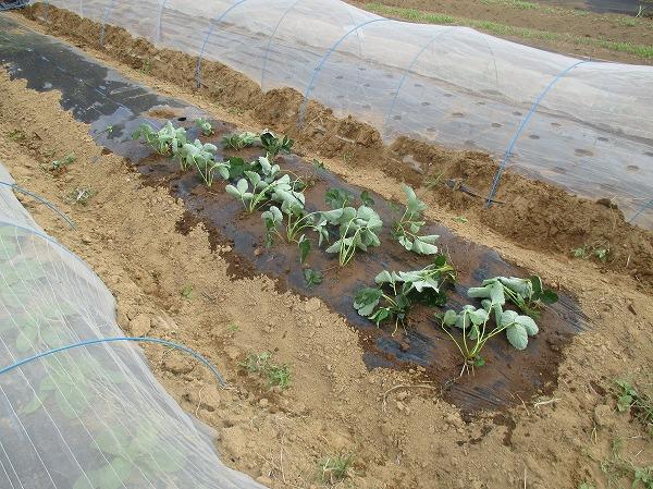 イチゴの苗を植えたところ