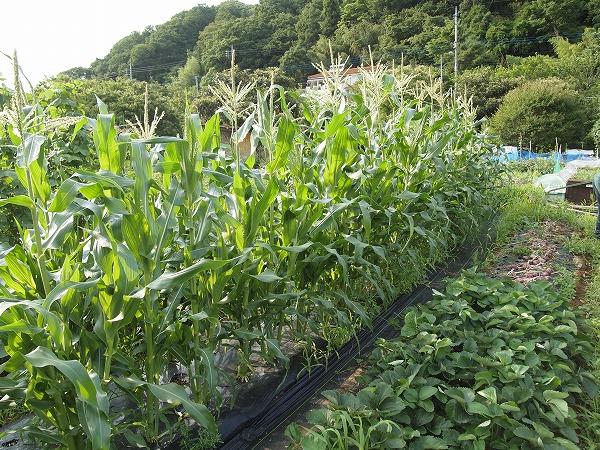 摘果時期のトウモロコシ