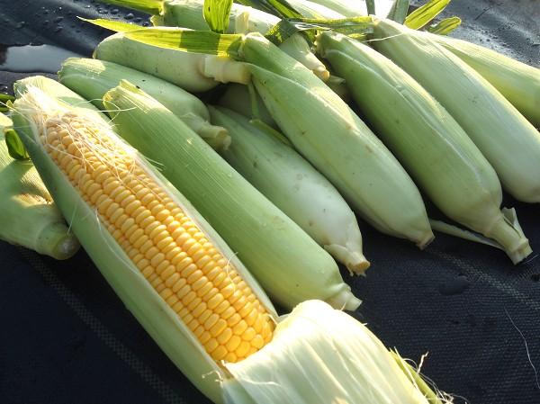 収穫したトウモロコシ