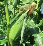 トウモロコシの収穫の目安
