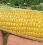 トウモロコシの育て方とコツ