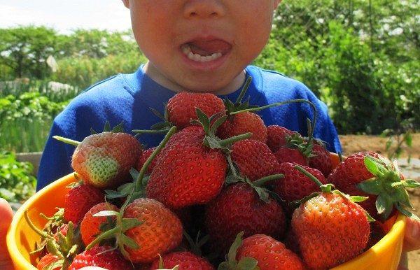 家庭菜園で育てて収穫したイチゴ