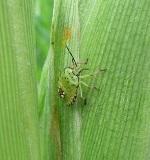 トウモロコシの害虫による被害・対策