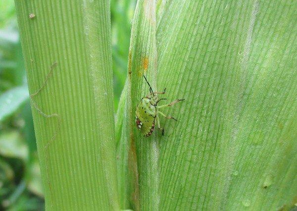 トウモロコシの害虫(カメムシ)