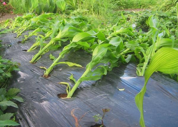 台風などの強風でトウモロコシが倒れた