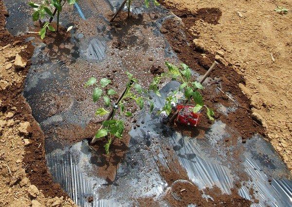 ミニトマトの苗を植えたところ
