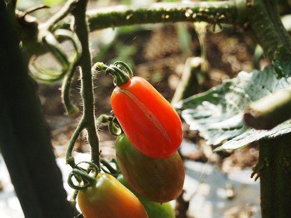 裂果したミニトマト