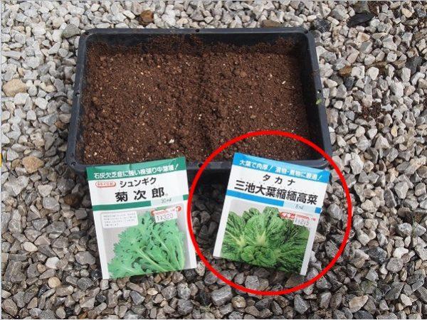 高菜の苗作り