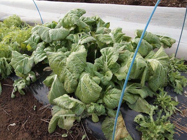 収穫期の高菜