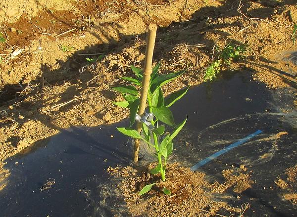 シシトウの苗を植えたところ
