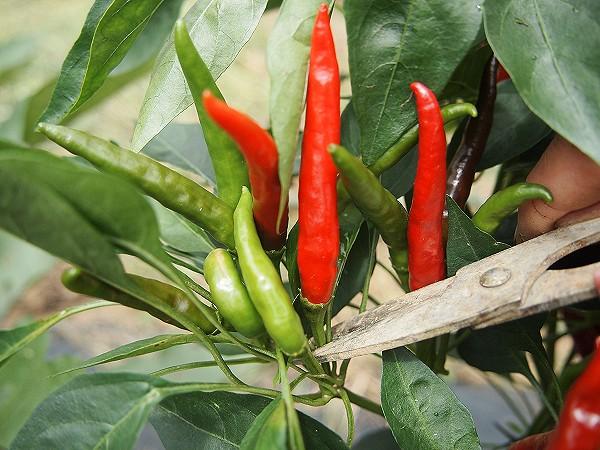 赤くなった実を収穫