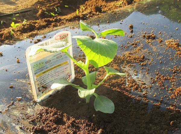 メロンの苗を植えたところ