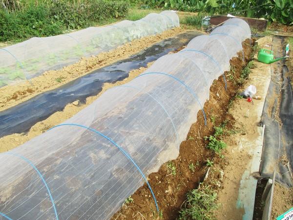 野沢菜の害虫対策に防虫ネットでトンネル