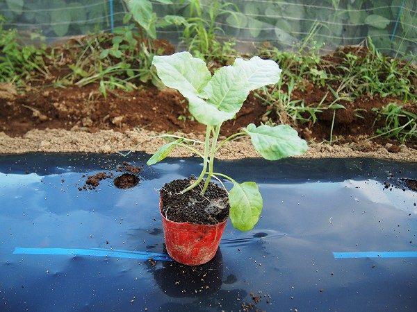 植えつけ適期のブロッコリーの苗