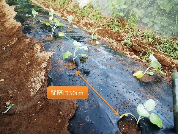 ブロッコリーの苗を植えたところ