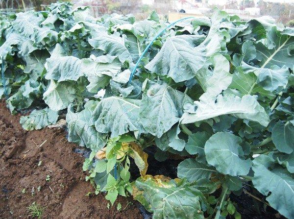 ブロッコリーの収穫適期