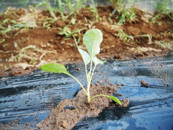 カリフラワーの苗を植える