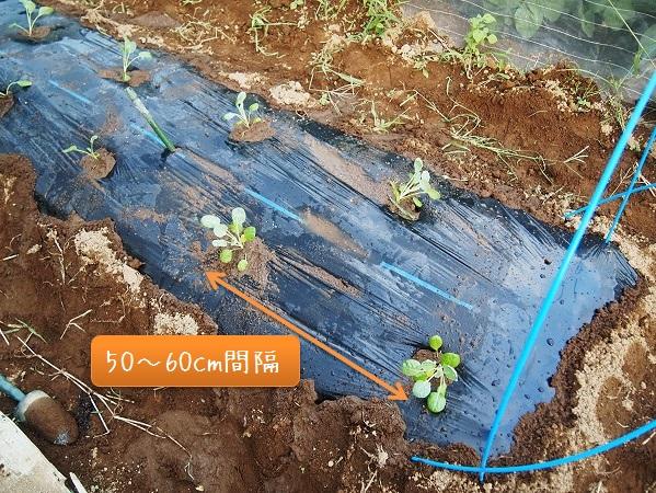芽キャベツを植えた畝