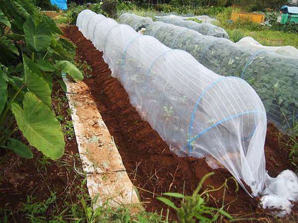 カリフラワーの害虫対策
