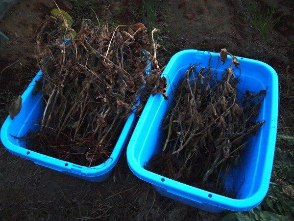 収穫した大豆