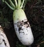 ミニ大根の育て方
