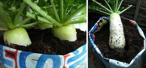 ミニ大根の袋栽培