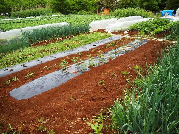 家庭菜園の5月