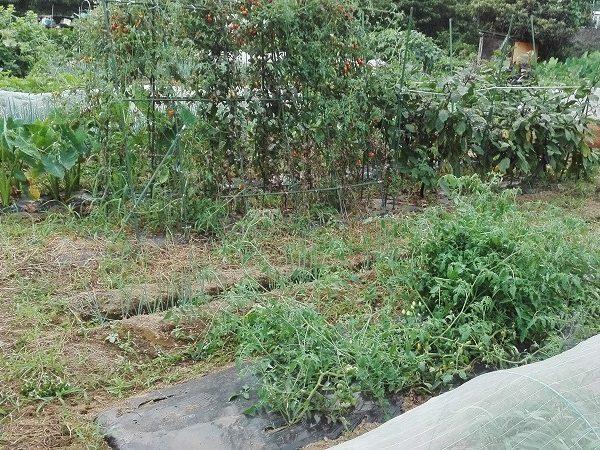 8月の家庭菜園