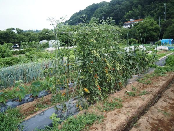 7月の家庭菜園