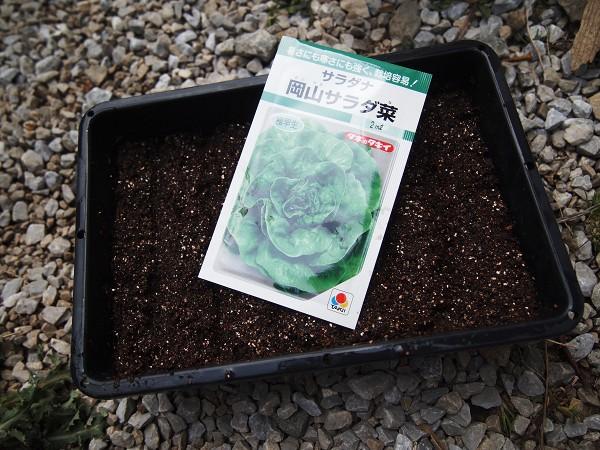 サラダ菜の種まき