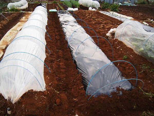 サラダ菜を育てる畝
