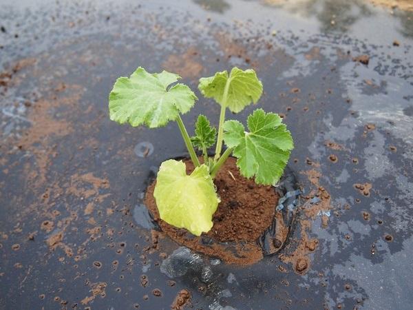 植えつけたズッキーニの苗
