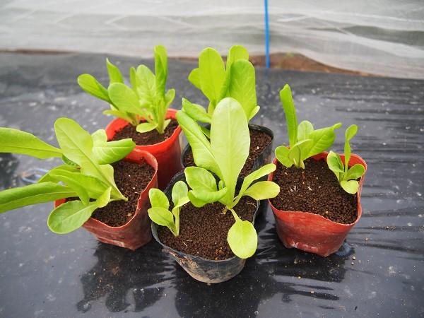 サラダ菜の苗