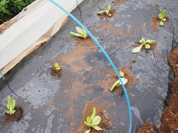 畝に植えつけたサラダ菜の苗