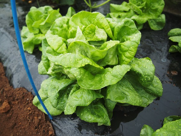 収穫時期のサラダ菜