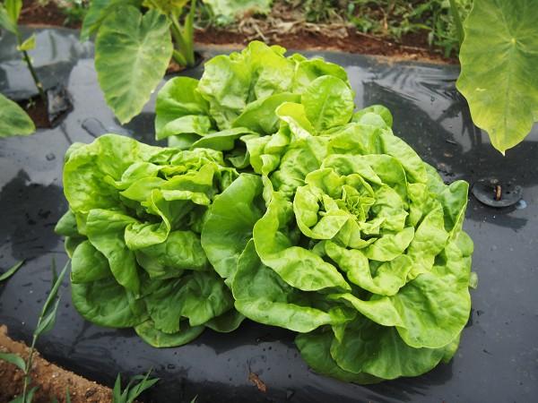 収穫したサラダ菜
