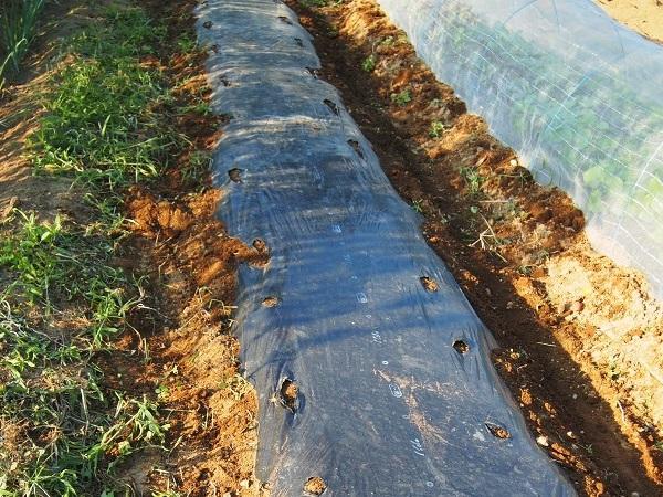 コールラビを植える畝