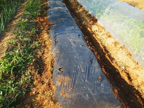 黒キャベツを植える畝