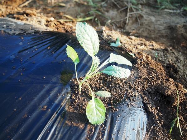 黒キャベツの苗を植えたところ