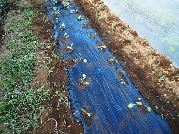 コールラビを植えた畝