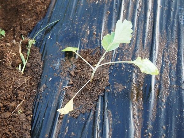 コールラビの苗を植えたところ