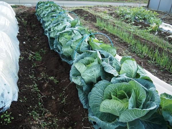 冬の家庭菜園