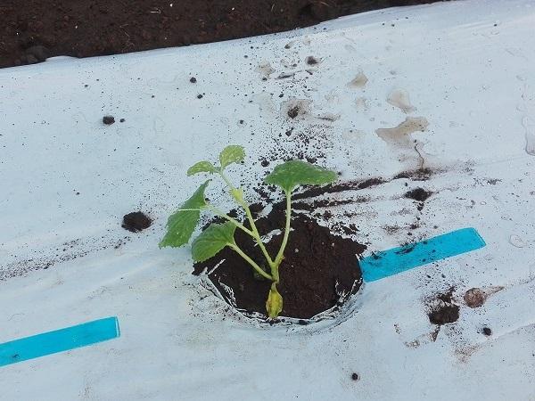 マクワウリの苗を植えたところ
